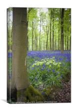 Beech tree and bluebell blanket, Canvas Print