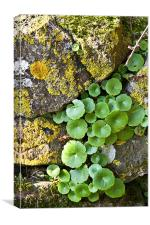Stone Wall & Plant, Canvas Print