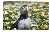 Skomer Island Puffin, Canvas Print