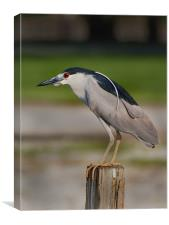 Night Heron, Canvas Print