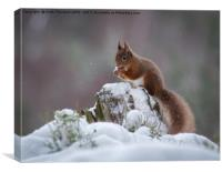 Red Squirrels, Canvas Print