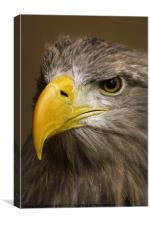 White Tailed Sea Eagle, Canvas Print