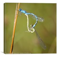 Common Blue Damselflies Mating, Canvas Print