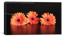 Three Gerberas, Canvas Print