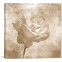 Faded Rose, Canvas Print