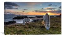 Two ponies grazing, Canvas Print