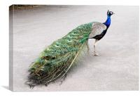 Proud as a Peacock, Canvas Print