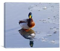 Mallard Duck on Ice, Canvas Print