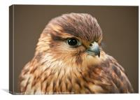 Merlin (Falco columbarius), Canvas Print