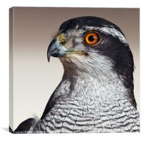 Northern Goshawk (Accipiter gentilis), Canvas Print