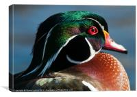 Wood Duck (Aix sponsa), Canvas Print