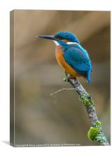 The Common Kingfisher (Alcedo atthis), Canvas Print