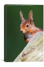 Red squirrel (Sciurus vulgaris), Canvas Print