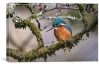 Common kingfisher (Alcedo atthis), Canvas Print