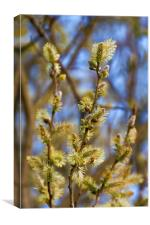 Spring Catkins, Canvas Print