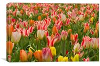 Field of Tulips, Canvas Print