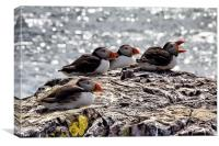 puffins, Canvas Print