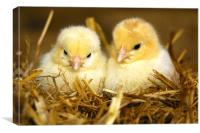 Young Chicks, Canvas Print