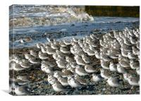 Sanderlings at Rossal Point, Canvas Print