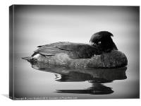 Tufted Duck., Canvas Print