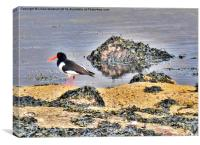 Oyster Catcher on the Rocks., Canvas Print