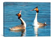 Great Crested Grebes Courting. , Canvas Print
