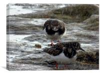 Turnstones in the rain. , Canvas Print
