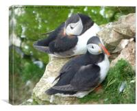 Puffins on Bempton Cliffs. , Canvas Print