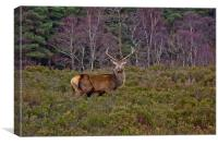 Stag at Signal Rock, Canvas Print