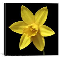 Daffodil Flower Head, Canvas Print
