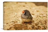 Zebra Finch chick, Canvas Print