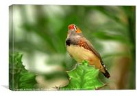 Zebra Finch, Canvas Print