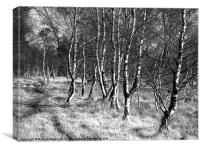 Birch trees on Strensall Common, Canvas Print