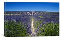 Lavander fields, Canvas Print