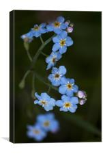 Water Forget Me Not, Canvas Print