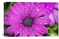 Purple Osteospermum 3, Canvas Print