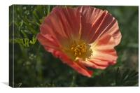 Coral Poppy 1, Canvas Print