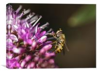 Hover fly, Canvas Print