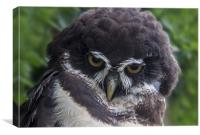 Spectacled Owl, Canvas Print