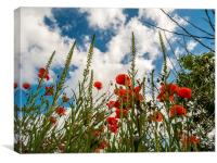 Poppy Flowers and Blue Sky, Canvas Print