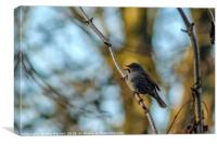 Dunnock in full Chirp, Canvas Print