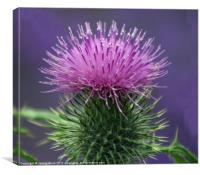 Milk Thistle, Canvas Print