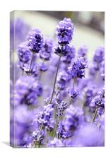 The Smell of Purple, Canvas Print