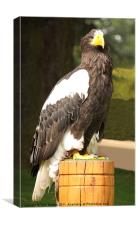 A Steller's Sea Eagle (Halliaeetus pelagicus), Canvas Print