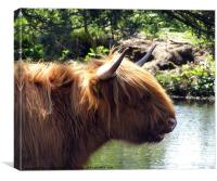 Highland cattle at the pond, Canvas Print