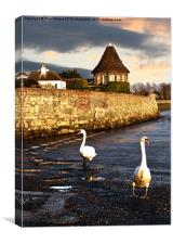 Bosham Swans Out for a Stroll, Canvas Print
