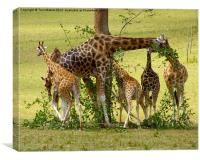 A Muddle of Giraffes, Canvas Print