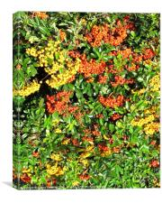 Clusters of yellow & red berries, Canvas Print
