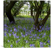 Bluebell Wood, Cranfield, Canvas Print