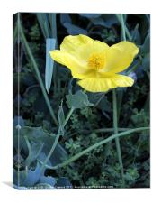 Yellow Poppy, Canvas Print